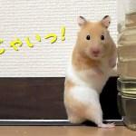目が合うとヤバい!可愛い顔してメンチ切る10連発!おもしろ可愛い癒しハムスターTen consecutive Funny  hamsters dangerous if their eyes meet!