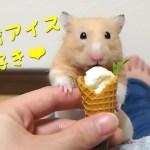 豆腐アイスは分解して食べる派のハムスター!おもしろ可愛い癒しハムスターTofu ice is decomposed and eaten Funny hamster