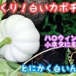動画で家庭菜園『びっくり!白いカボチャ! ハロウィンの小ネタにも最適?』H30.7.27