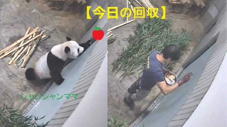 2018/08/15シャンシャン429日齢(1) すごい瞬間飼育員さんとシャンシャンパンダ