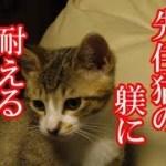 かわいい子猫が突然お家にやってきた-その時、先住猫達は・・・?!4週間目4-kitten came to our house 24