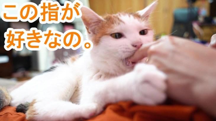 甘噛みがかわいい三毛猫ちゃんは相手が変わると・・・