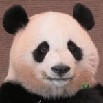 桃浜、目を開けたまま食べるので、可愛いショットがたくさんみられます♪ Giant Panda Touhin♪