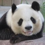 かわいい!いつも岩の上でまったりする姿をみせてくれたタンタン♪ トワイライトZOO 2018年8月12日 ジャイアントパンダ タンタン 王子動物園