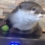カワウソさくら 旬のシャインマスカット手渡したらなんかすごい可愛い Otters and Muscat