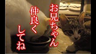 かわいい子猫が突然お家にやってきた-その時、先住猫達は・・・?!4週間目-8kitten came to our house 28