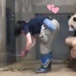 2018/08/12シャンシャン426日齢 【今日の回収💕】すごい瞬間飼育員さんとシャンシャンパンダ