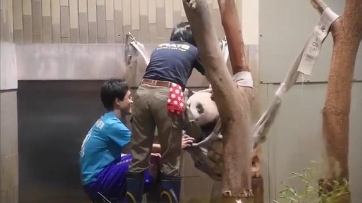 08/14シャンシャン428日齢 (2) 💕すごい瞬間飼育員さんとパンダシャンシャン