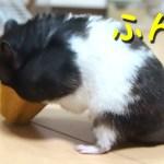 【ハムスター】サラダボウルを食べた結果…?おもしろ可愛い癒し As a result of hamsters eating a salad bowl?