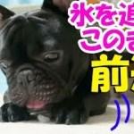 激レア映像!ほふく前進する犬が超かわいいことを私は伝えたい。