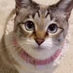 つぶらな瞳✨ 可愛いニャンコたちに見つめられちゃう👀【PECO TV】