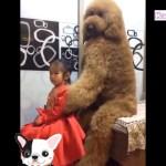 「おもしろ犬」日本でみたことがない巨大なプードル犬が超かわいい・かわいい犬