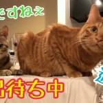 トイレの出待ちをする2匹のかわいい猫!