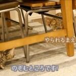 子猫時代のルトとロゼの喧嘩がすごくかわいい!!