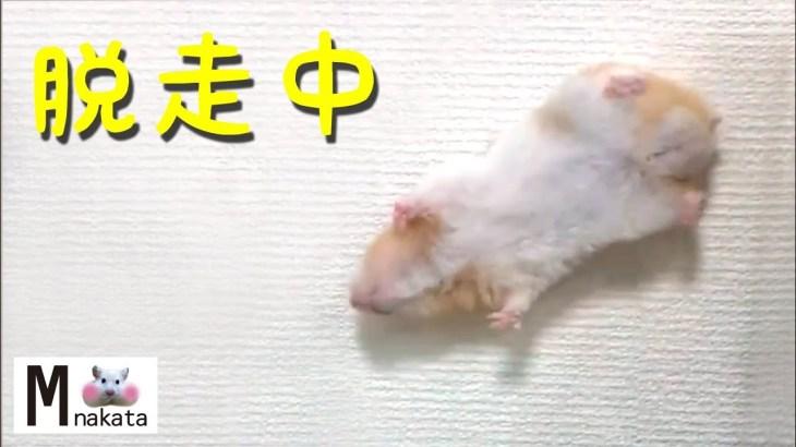 【ハムスター】脱走~家に帰るまで完全密着!おもしろ可愛い癒しReport until hamsters escape and return home