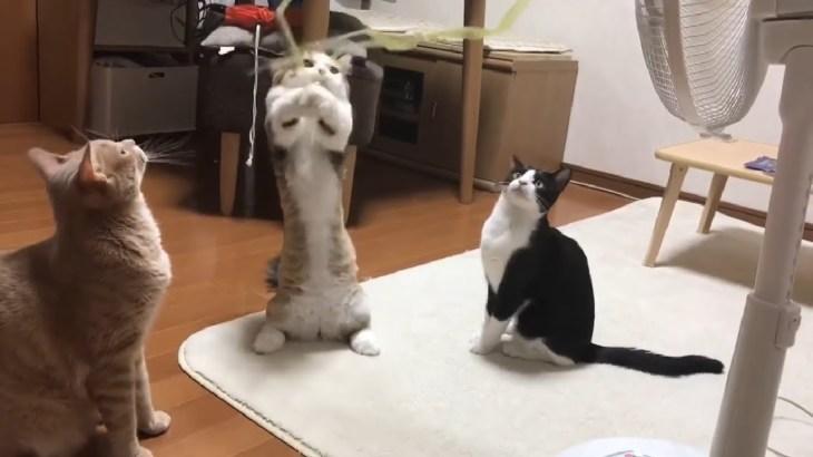 猫背が反り返る猫がおもしろい
