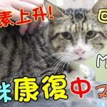 『貓咪康復中』MiMi醬血紅素上升了,好感動!請幫我們訂閱和分享哦。Cat Story#6
