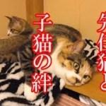 かわいい子猫が突然お家にやってきた-その時、先住猫達は・・・?!7週間目4-kitten came to our house 48