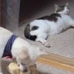 【たしかにのらのお腹は感心するほどスゴイです】The stomach of the cat is big. lol