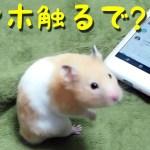 【ハムスター】ハムスターはスマホを操作できるのか?おもしろ可愛い癒しCan hamsters operate smartphones?