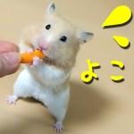 【ハムスター】いじわるなあげ方がおすすめ!その理由は?おもしろ可愛い癒しA hamster standing with two legs to eat is too cute!