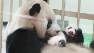 【かわいい♥】赤ちゃんパンダのお顔がみえた♪ どんどん大きくなってね!! HELLO NEW BABY #アドベンチャーワールド