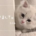 サイベリアンの子猫がめちゃくちゃかわいい。