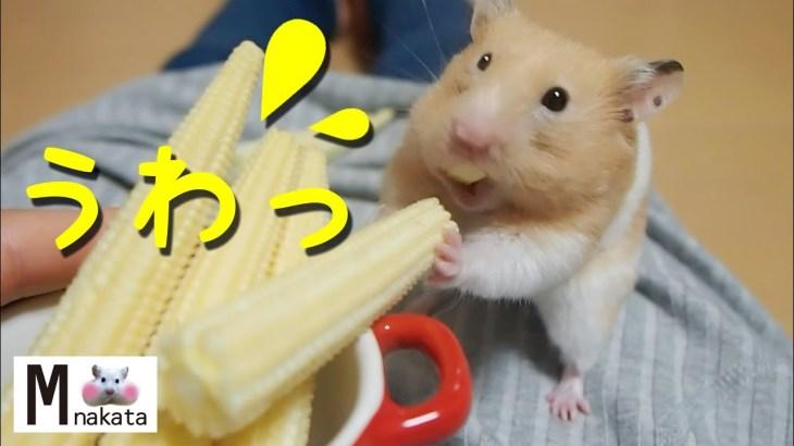 【ハムスター】ビックリ!大好きなヤングコーンに攻撃される!おもしろ可愛い癒しHamster that is surprised to be attacked by Young Corn