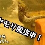 #12【ヤモリ飼育】 ニホンヤモリの脱皮姿がかわいい。