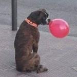 「絶対笑う」最高におもしろ犬,猫,動物のハプニング, 失敗画像集 #399
