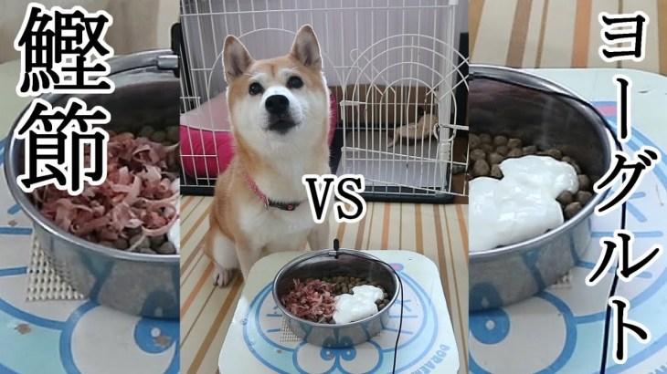 柴犬小春 自分の特大ゲップでビックリ!どっちから食べる?鰹節vsヨーグルトで大興奮 Shiba Koharu eats Katsuobushi and Yogurt