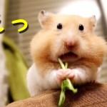【ハムスター】頬袋がパンパンになっていく過程が…!おもしろ可愛い癒しThe cheek pouch of the hamster is full is too cute!