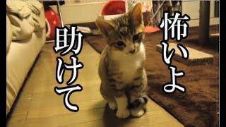 かわいい子猫が突然お家にやってきた-その時、先住猫達は・・・?!9週間目5-kitten came to our house 63