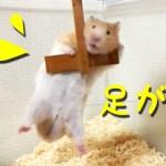 【ハムスター】逃げるのには不利!ぶるぶるしてる短すぎる足が笑える!おもしろ可愛い癒しHamster trying to escape with a foot that is too short!