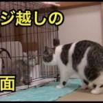 急接近!?新入り子猫と先住猫!【猫】【かわいい】【エキゾチックショートヘア】