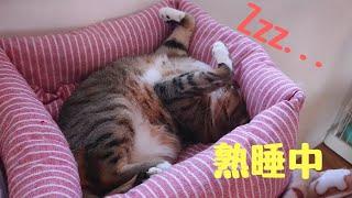 すごいポーズで眠る猫、セレナちゃん【保護猫】