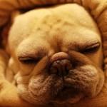 ロールクッションに埋もれてる犬かわいい Cushion and French bulldog