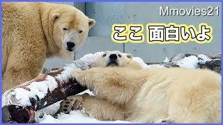 倒木の下からララをのぞき込む リラの可愛い遊び Polar Bears