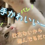【子猫】お手手がかわいい猫様!【サイベリアン】