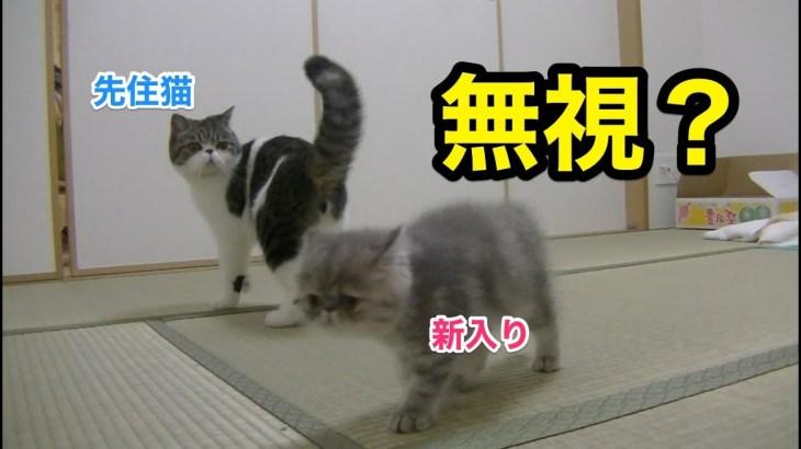 リアル対面!愛猫たちの反応は…?【子猫】【かわいい】【エキゾチックショートヘア】