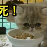 フードファイター現る!?【猫】【かわいい】【エキゾチックショートヘア】