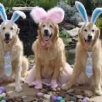 「最高にかわいい犬」面白いゴールデンレトリバー犬のハプニング, 失敗動画集 #7