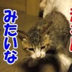 子猫をお風呂で洗ってみた-かわいい子猫の保護猫と先住猫のおもしろい生活37