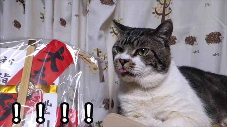 衝撃!一瞬舌をしまうのを忘れてしまう猫が可愛い☆ビニールをペロペロするのが好きなリキちゃん【リキちゃんねる 猫動画】Cat video キジトラ猫との暮らし