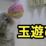 愛猫たちに新しいおもちゃを与えてみた【子猫】【かわいい】【エキゾチックショートヘア】