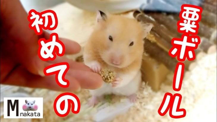 【ハムスター】初めて粟ボールを食べた結果は…?おもしろ可愛い癒しThe result of the hamster eating the millet ball for the first time