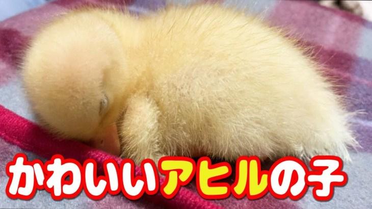 【コールダック】かわいいアヒルの子 ねぎま王子〜生後2週間〜