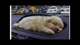 「絶対に笑う」あり得ないことをする犬★おもしろい犬のハプニング, 失敗画像集 #33