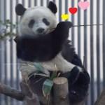 2019/2/2 シャンシャンパンダかわいい600日齢 (1) ♥の決めポーズなんだか渋いですね🤣カワカッコいい✨👍