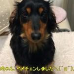 裏返った耳もかわいい鼻ちゃん(*´ω`)♡耳掃除の悩み…【鼻ちゃん日記】#487